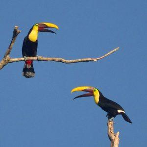 Black Mandibled Toucan