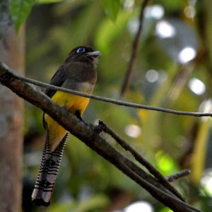 Black Throated Trogan