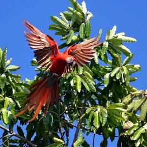 Sacrlet Macaw